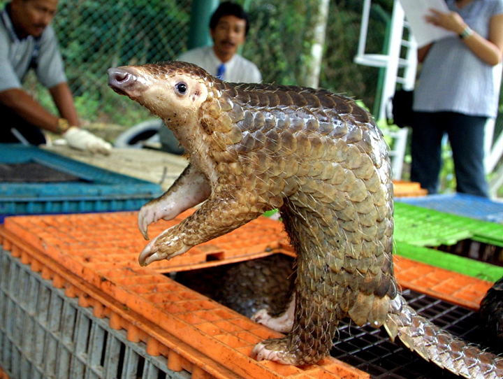 A Malayan pangolin is seen out of its cage after being confiscated by the Department of Wildlife and Natural Parks in Kuala Lumpur.