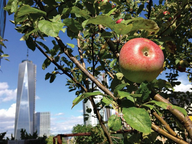 "An apple tree in the Battery Rooftop Garden, in New York, included in the book, ""The Rooftop Growing Guide,"" by author Annie Novak, published in 2016."