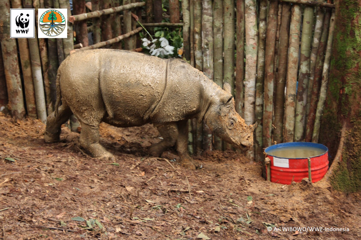 The Sumatran rhino seen in the wild for the first time in more than 40 years.