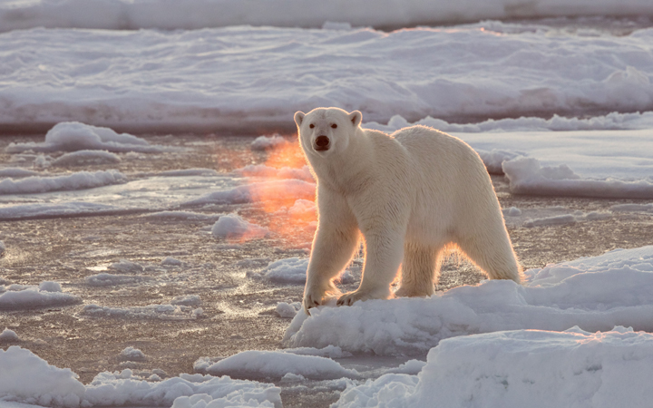 A Polar Bear roams the Arctic ice in December 2015.
