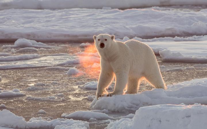 A Polar Bear roams the Arctic ice - 25 Dec 2015.