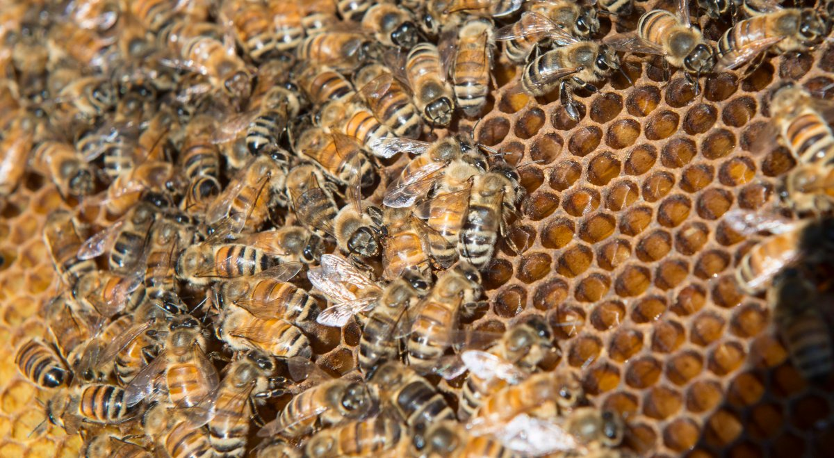Bees are seen on a frame from a hive in Karen Hickey's backyard Wednesday, April 20, 2016 in Montreal.