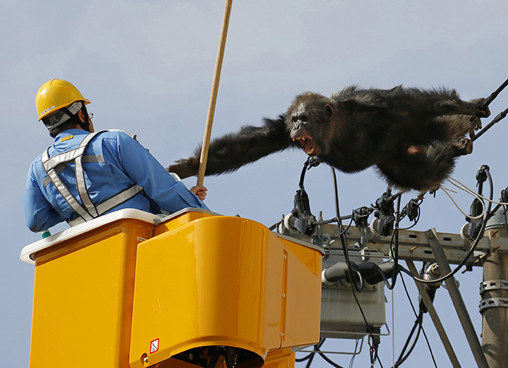 Chacha, the male chimp, screams at a worker in Sendai, northern Japan on Thursday, April 14, 2016 after fleeing from a zoo.