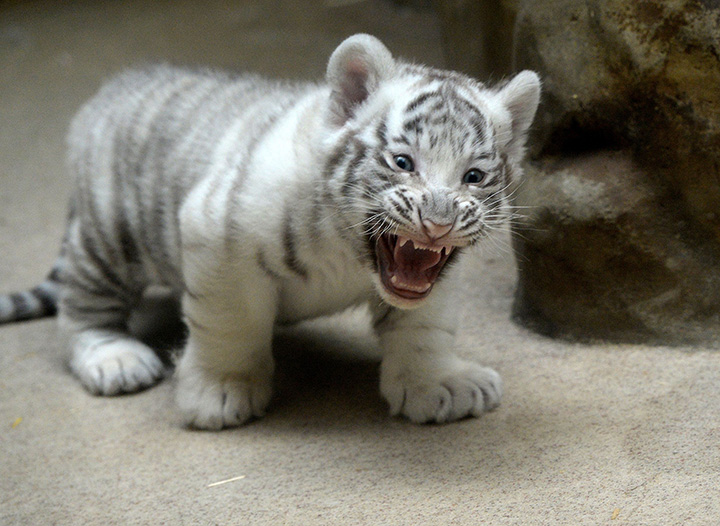 A two-month-old white tiger cub stands in its enclosure, on April 25, 2016, at a zoo in the city of Liberec, Czech Republic.