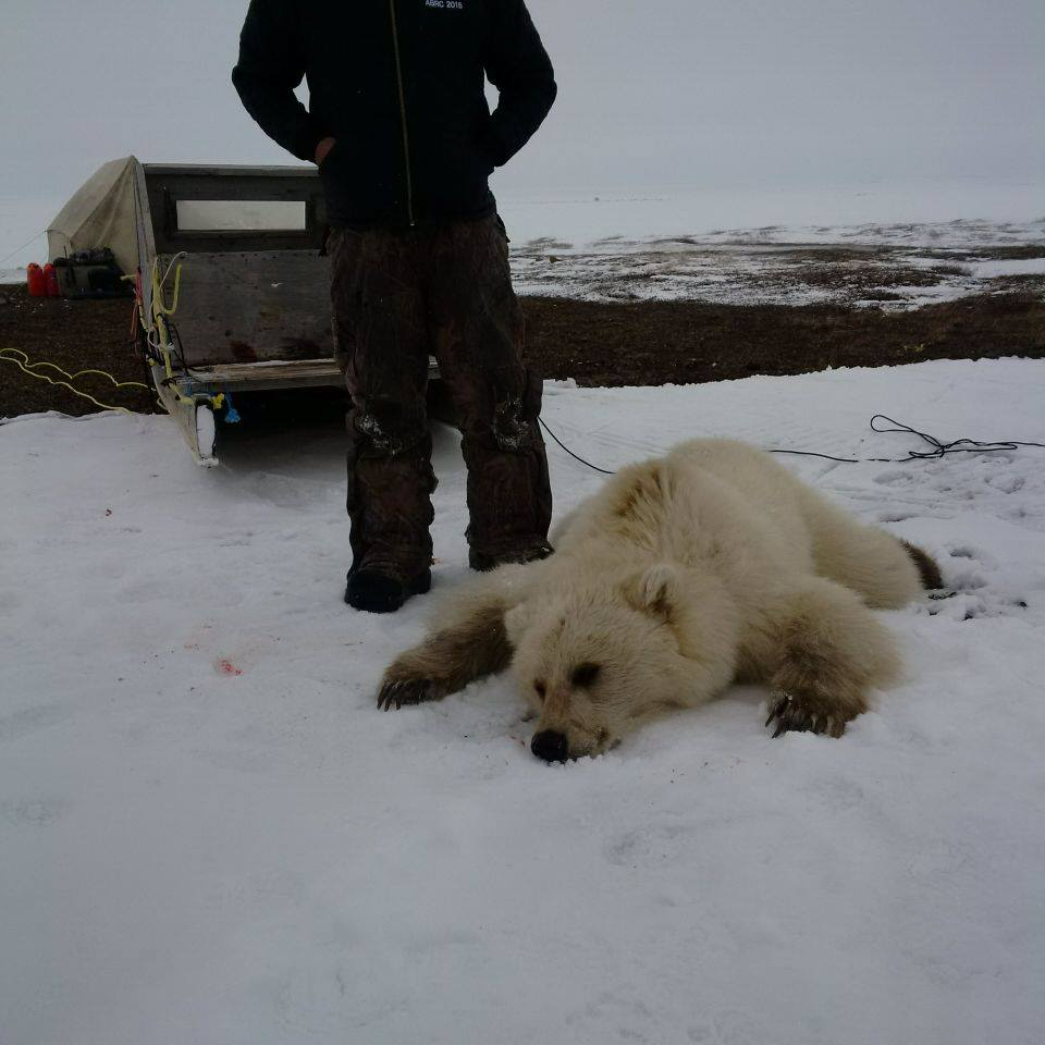 This image from Facebook, posted on May 15, shows a bear shot in Nunavut which may be a grizzly/polar bear hybrid.