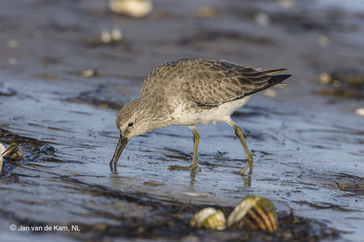 A red knot forages for food.