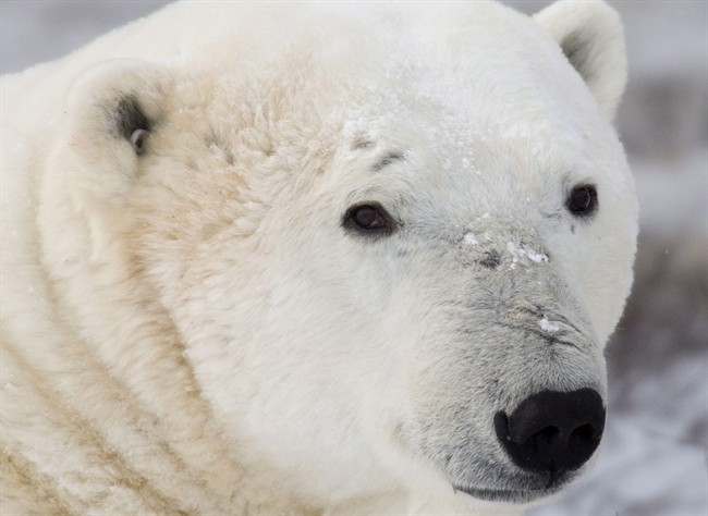 Polar bear populations could decline by as much as 30 to 50 per cent by mid-century due to climate change and melting Arctic sea ice.