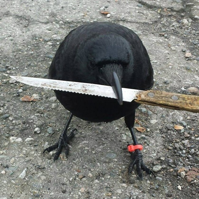 Canuck the Crow, pictured at a crime scene in East Vancouver.