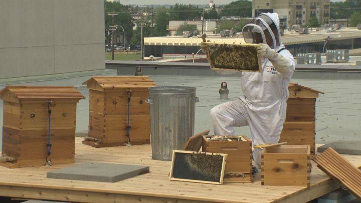 Beekeeper Troy Donovan inspects the bee hives on the roof of MacEwan University's City Centre Campus Friday, May 27, 2016.