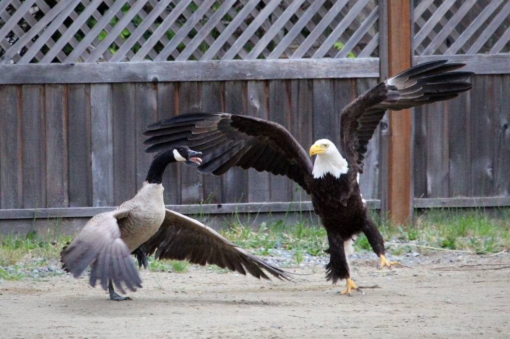 American Eagle fights with Canadian Goose, Lisa Bell