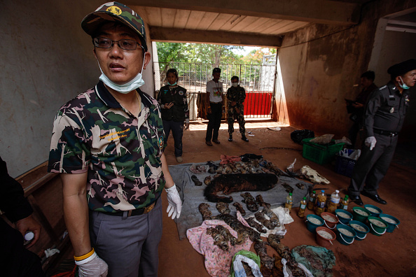 Deputy DNP director-general Adisorn Nuchdamrong stands by the carcasses of 40 tiger cubs and a bear found undeclared at the Wat Pha Luang Ta Bua Tiger Temple on June 1, 2016 in Kanchanaburi province, Thailand.