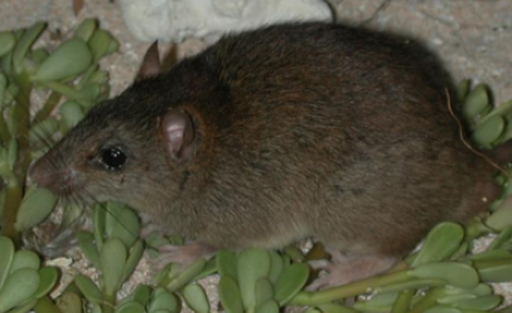 Australian researchers believe the Bramble Cay melomys is extinct.
