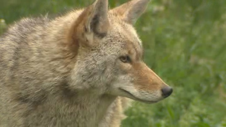 B.C. conservation officers say the little girl only suffered superficial injuries after the coyote attack.