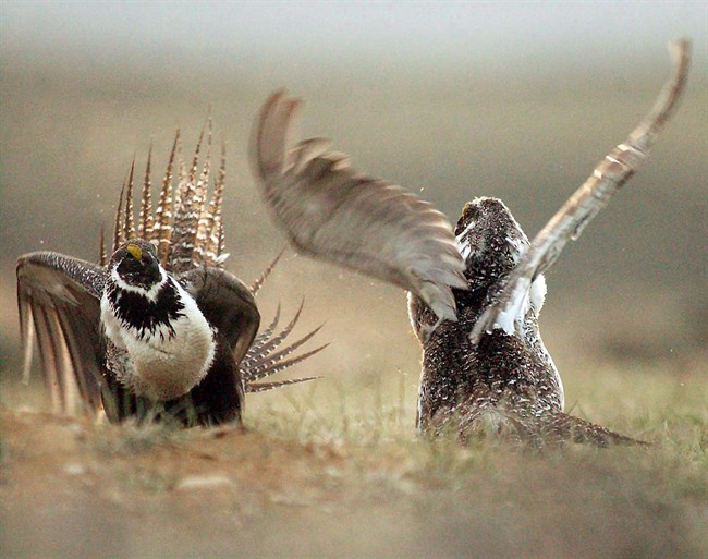 In this May 9, 2008 file photo, male sage grouse fight for the attention of female southwest of Rawlins, Wyo. A classic prairie bird is slowly re-establishing itself in its grassland home, two years after the sage grouse became one of the first species to get emergency protection from the federal government.