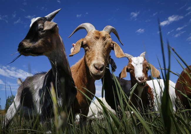 Goats have been known to be natural born weed-eaters. Calgary is testing them out in an official capacity. Should Saskatoon do the same?.
