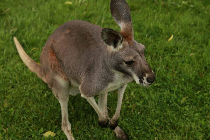 An image of a kangaroo from Tiger Paw Exotics's Facebook page.