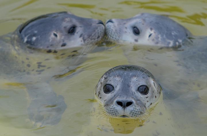 Three baby seals swim in a pool of the seal breeding station in Friedrichskoog, northern Germany.