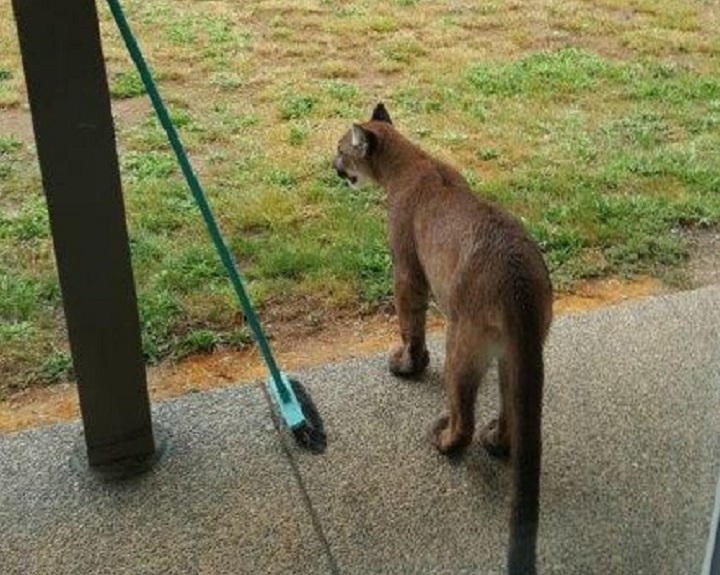 A Courtney, B.C. resident got a close up of three cougars when they were wandering through his front yard.