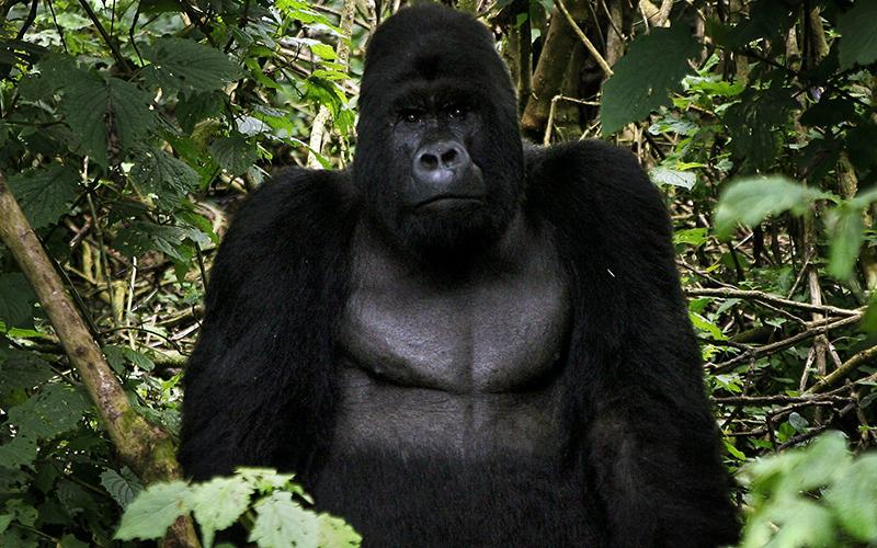 An eastern silverback mountain gorilla, seen in the Virunga National Park, near the Uganda border in eastern Congo, Tuesday, Nov. 25, 2008.