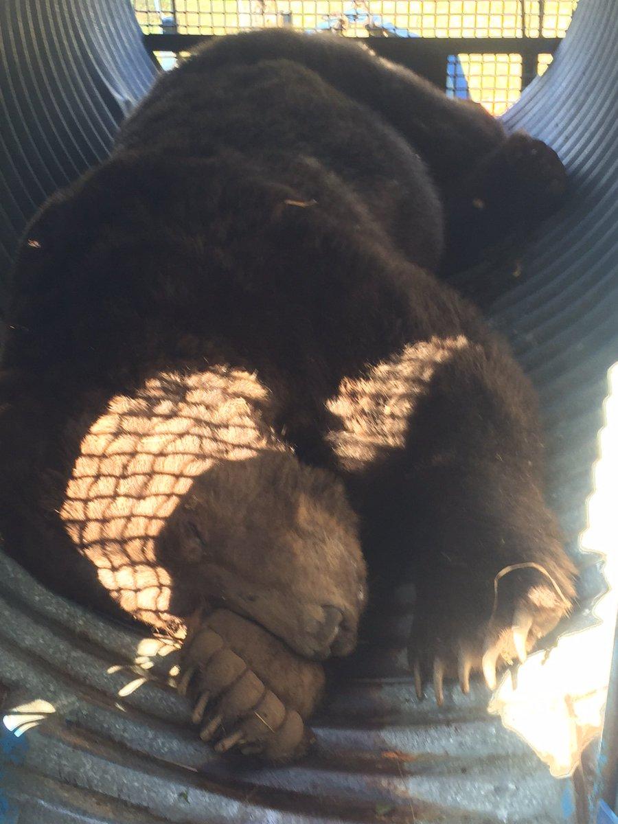 grizzly bear in sechelt, sunshine coast