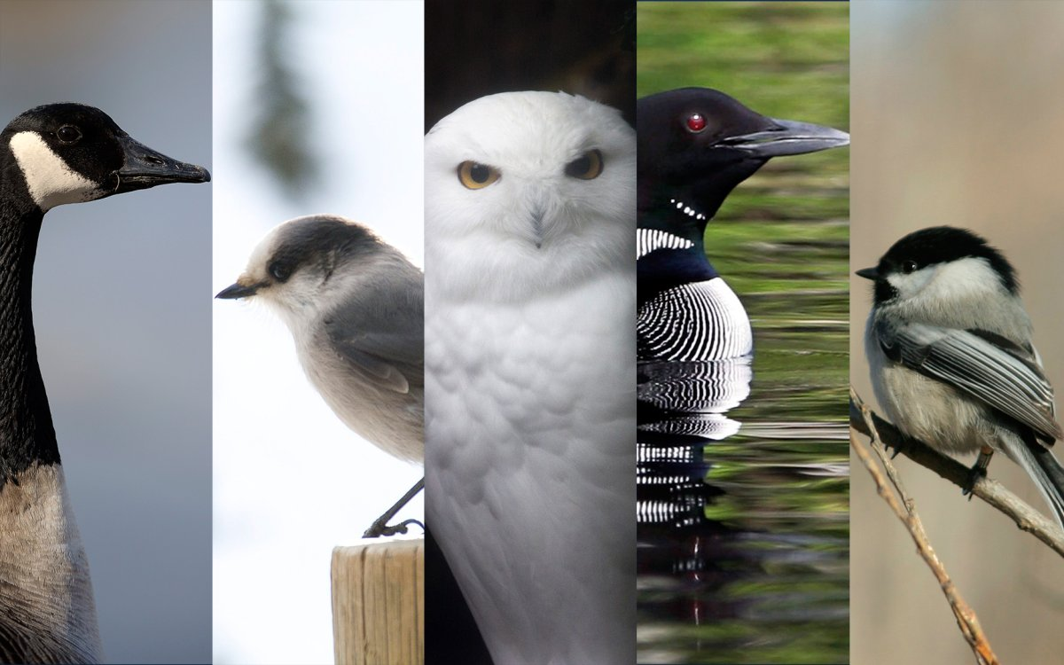 The five finalists for Canada's national bird - Canada goose, gray jay, snowy owl, common loon, chickadee.