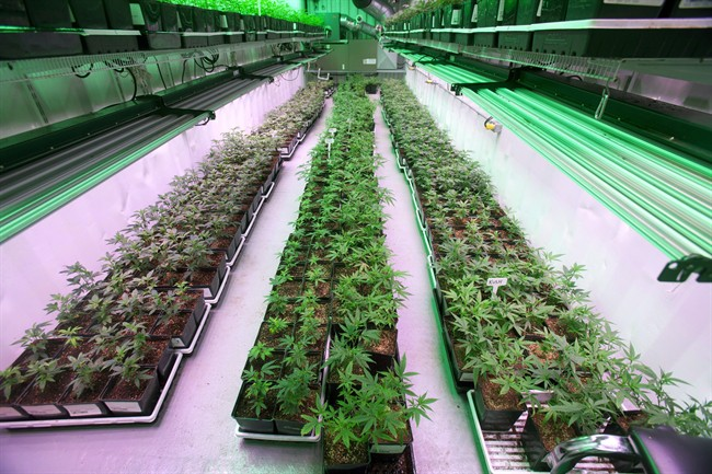 Cannabis plants intended for the medical marijuana market grow at OrganiGram in Moncton, N.B., in an April 14, 2016, file photo.