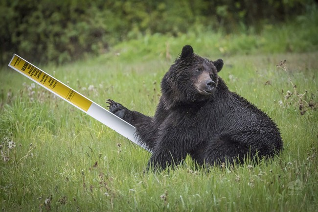 A grizzly bear is shown in a handout photo. A study suggests hungry grizzly bears drawn to bountiful berry crops in southeastern British Columbia are dying in disturbing numbers.