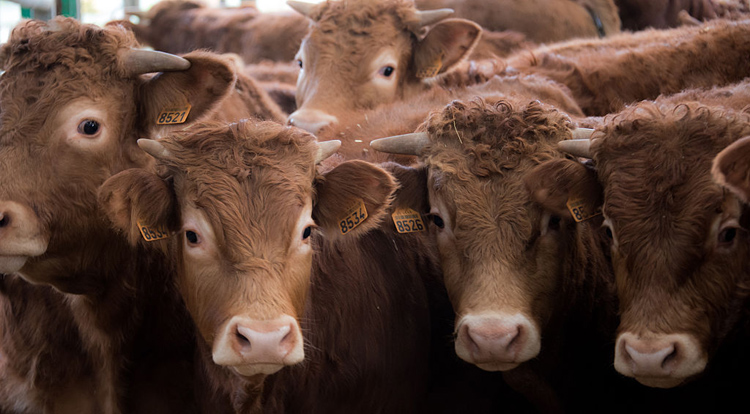 A farmer had 35 cows and 28 calves on multiple sections of land between Moosomin and Fairlight go missing.