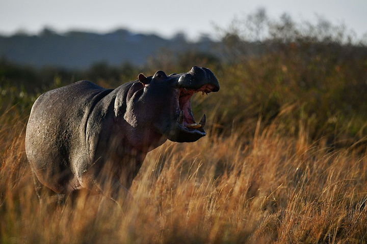 A hippo bares its teeth.