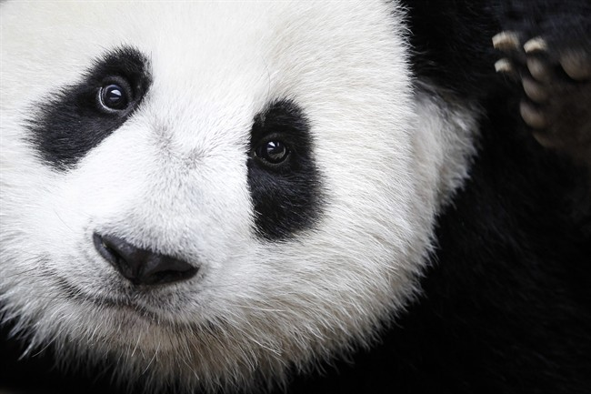The giant panda has been reclassified as vulnerable from endangered on the International Union for the Conservation of Nature's list of endangered species, which was released Sunday, Sept. 4, 2016 at the World Conservation Congress in Hawaii.