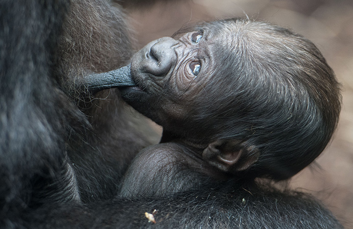 A six-days-old baby Gorilla is pictured at the zoo in Frankfurt, western Germany on September 21.