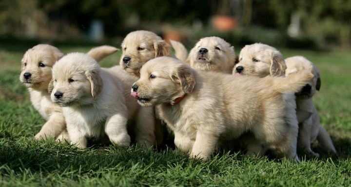 A litter of seven golden retriever puppies trots across the lawn at Mountain View Kennels in Williamsburg, Pa., Wednesday, Nov. 2, 2005.
