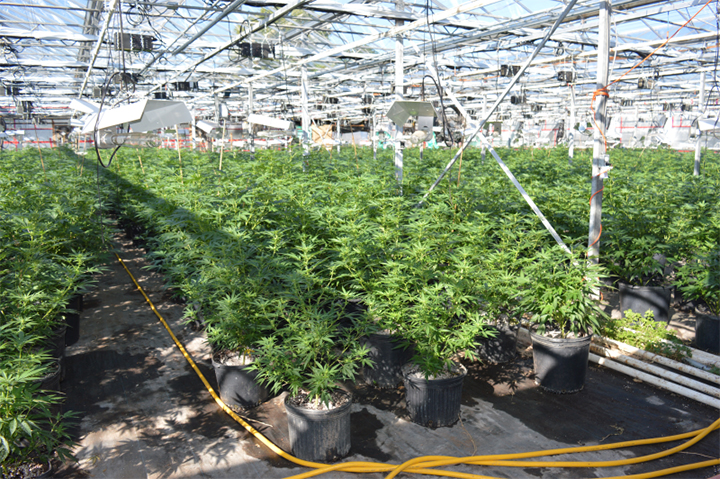 Police say more than 4,000 illicit marijuana plants worth more than an estimated $4 million were seized from a Health Canada approved grow-op on Oct. 3, 2016.