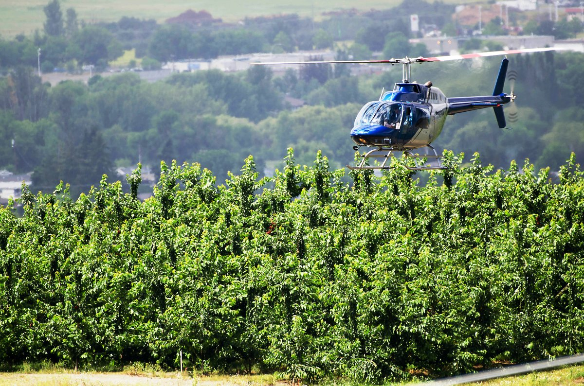 A helicopter hovers over a Kelowna Cherry orchard in this June 2017 file photo.