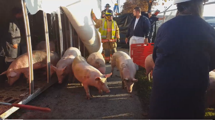 A screenshot from a video shows pigs getting rounded up after a truck overturned in Burlington, setting them loose.