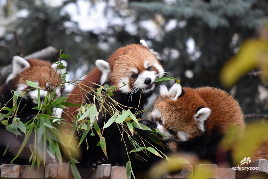 Two male red panda cubs were born at the Calgary Zoo on June 21, 2016 to mom, Sakura, and dad, Dusk.