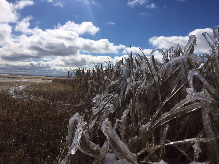 Icy Alberta crops on Oct. 9, 2016.