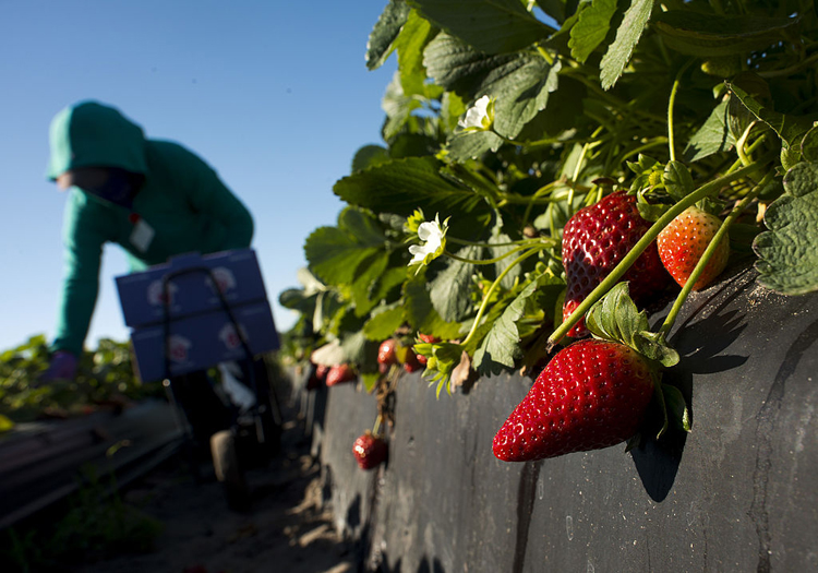 A worker picks strawberries in Plant City, Fla. in March of 2014.
