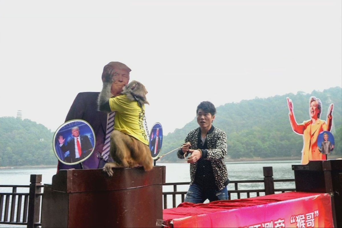 Geda the monkey chooses a cardboard cut out of Donald Trump over Hillary Clinton just days before the 2016 U.S. presidential election.