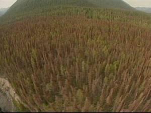 mtn-pine