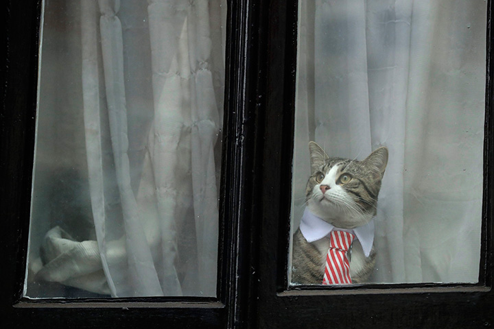A cat dressed up with a collar and tie looks out from a window of the Ecuadorian embassy in London, Monday, Nov. 14, 2016.