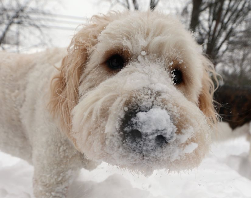 A golden poodle stands with snow in its nose on January 27, 2015 in Old Bethpage, New York.