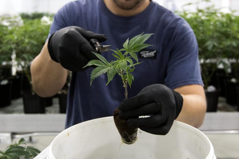 An employee trims medicinal marijuana plants at Tweed, in Smith Falls, Ontario, Dec. 5, 2016.