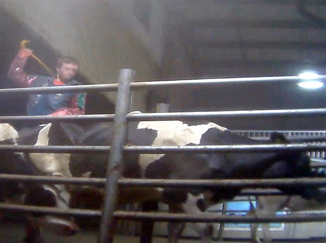 A Chilliwack Cattle Company worker is shown hitting a cow in this undated screenshot handout taken from video.