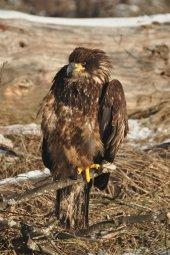 Continue reading: Revelstoke RCMP save eagle