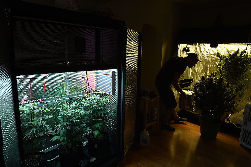 The first crop of home grown pot is coming to harvest inside an apartment in Washington, D.C., August 8, 2015.
