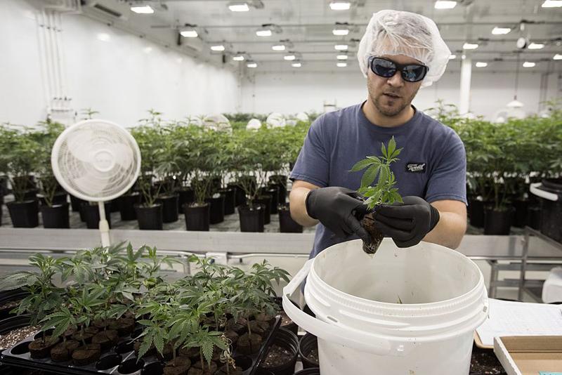 Ian Johnston trims medicinal marijuana plants at Tweed Inc. in Smith Falls, Ontario on December 5, 2016.