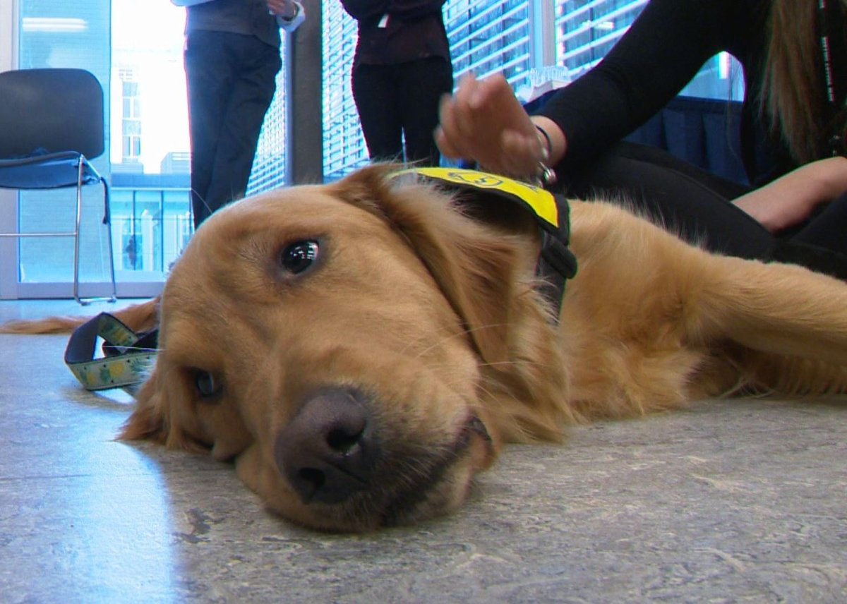 Soon-to-be service dogs visit students at Bow Valley College in Calgary on Dec. 6, 2016.