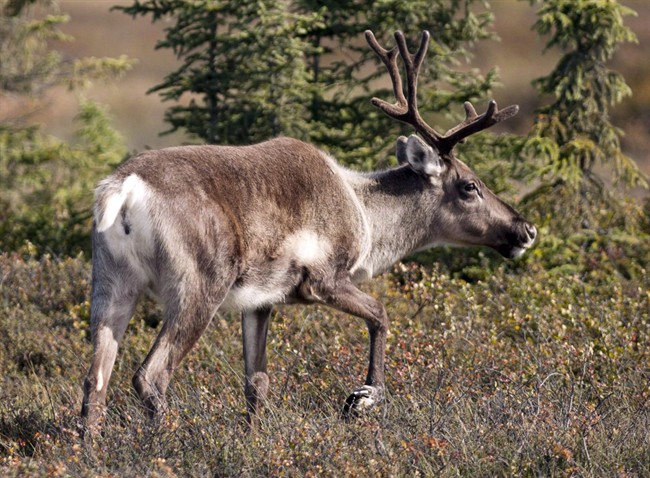 Federal government to get Alberta caribou recovery plan next month: minister - image