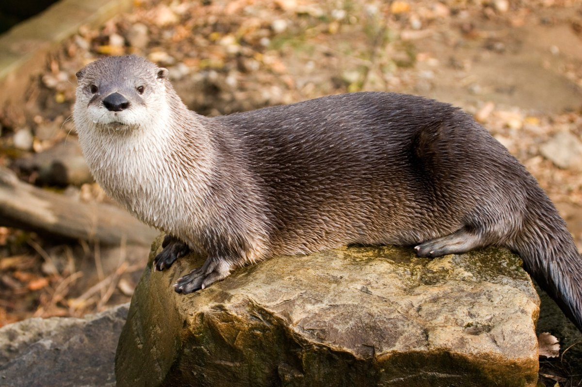 Ecomuseum Zoo welcomes back crowd-pleasing river otter with new exhibit - image